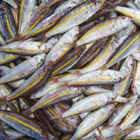 ברבוניה פס צהוב