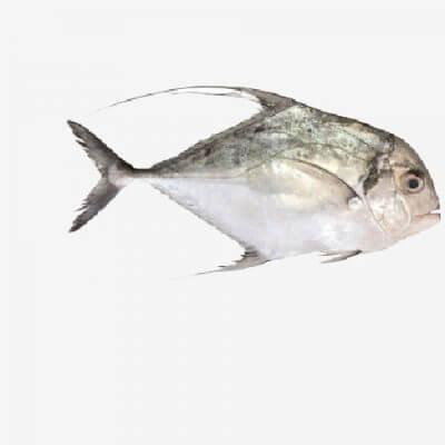 דג ג'מל